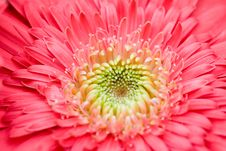 Free Pink Daisy Close-up Royalty Free Stock Image - 4165726