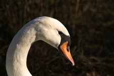 White Swan Head Stock Image