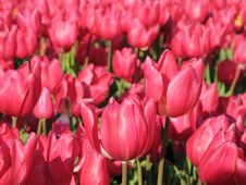 Free Two Tulips Stock Photos - 4166433