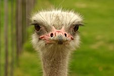 African Two-toed Ostrich - Close-up Portrait Stock Images