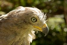 Free Varmint Bird - African Hawk Close-up Portrait Royalty Free Stock Images - 4168459