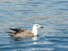 Seagull At Sea Royalty Free Stock Photo
