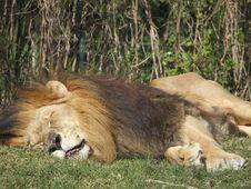 Free Sleepy Lion Royalty Free Stock Image - 4168866