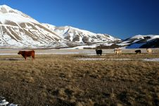 Free Cows In A Winter Landscape Stock Photos - 4169023