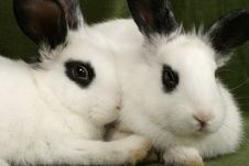 Free Twin Rabbits Stock Photography - 4169902