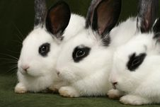 Free Three Rabbits Stock Photography - 4169942