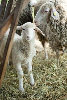 Free Sheep And Lamb Royalty Free Stock Photo - 41693785