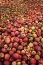 Free Apple Dump Stock Photo - 4170660