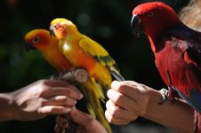 Colourful Small Parrots Royalty Free Stock Photo