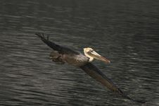 Free Brown Pelican In Flight Stock Photography - 4171462