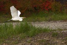 Free Great White Heron Royalty Free Stock Images - 4171549