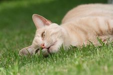 Free Lazy Ginger Cat Royalty Free Stock Photography - 4171607