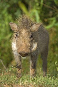 Free Baby Warthog Royalty Free Stock Image - 4171786