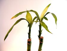 Two Bamboo Plants Stock Photo