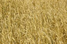 Free Wheat Royalty Free Stock Photo - 4172425
