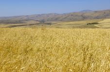 Free Wheat Stock Photography - 4172432