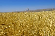Free Wheat Stock Images - 4172434