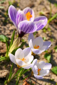 Free Spring Flowers Coming Up Royalty Free Stock Images - 4173089