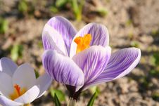 Free Spring Flowers Coming Up Royalty Free Stock Images - 4173149