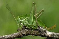 Free Grasshopper Royalty Free Stock Image - 4173176