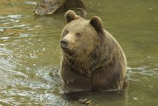 Free Brown Bear Royalty Free Stock Photo - 4173185