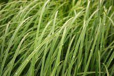 Free Green Grass Royalty Free Stock Photos - 4173618