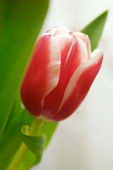 Free Tulip Royalty Free Stock Photo - 4173745