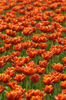 Free Tulips Field Royalty Free Stock Images - 4173829