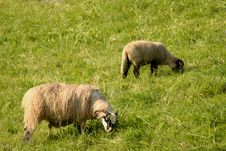 Free Sheep Stock Images - 4174884