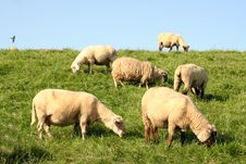 Free Sheep Royalty Free Stock Images - 4174989