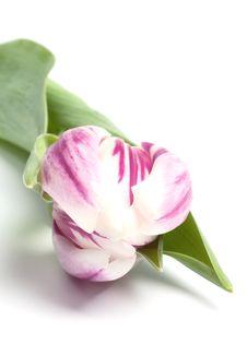 White Violet Striped Tulip Stock Photos