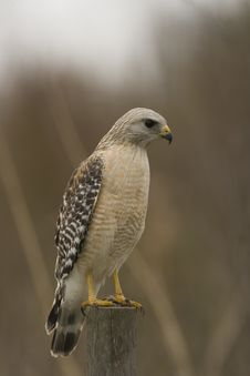 Red-shouldered Hawk Perched On A Fence Post Stock Photography