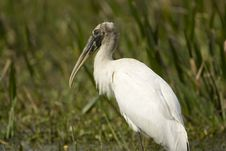 Free Young Wood Stork At Rest Royalty Free Stock Photos - 4177288