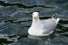 Free Pigeon Stock Image - 4179071