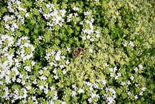 Free Tiny White Flowers Royalty Free Stock Images - 4179729