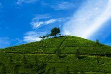 Free Tea Plantation Stock Images - 4179894