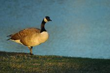 Free Goose By Water Royalty Free Stock Photography - 4179977