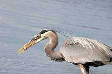 Free Grey Heron Eating Fish Royalty Free Stock Images - 41745539