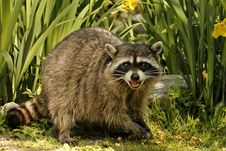Free Defensive Raccoon With Mouth Open Stock Photography - 41773652
