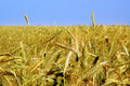 Free Wheaten Field Stock Photography - 4180292