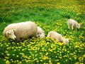 Free Sheeps And Lambs Royalty Free Stock Photo - 4183645