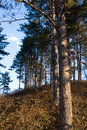 Free Pine Tree Hill Royalty Free Stock Images - 4186529