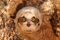 Free Burrowing Owl Stock Images - 4186734