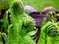 Free Abstract View Of Ostrich Fern Stock Photography - 4188212