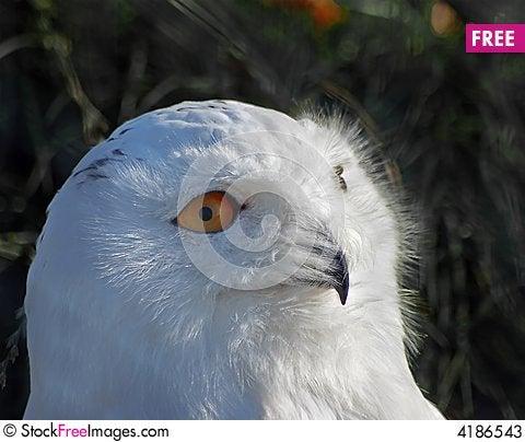 Free Snowy Owl Stock Photos - 4186543
