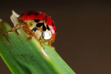 Free Lady Bug Close Up 02 Royalty Free Stock Image - 4180016