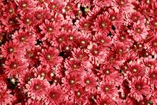 Free Fall Mums Royalty Free Stock Photos - 4180158