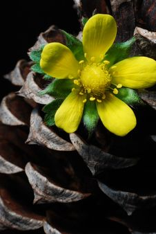 Flower In Pine Cone. Royalty Free Stock Photo