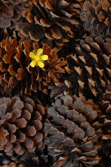 Flower In Pine Cone Stock Photos