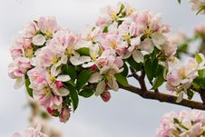 Free Apple Branch With Flower Stock Photo - 4180670